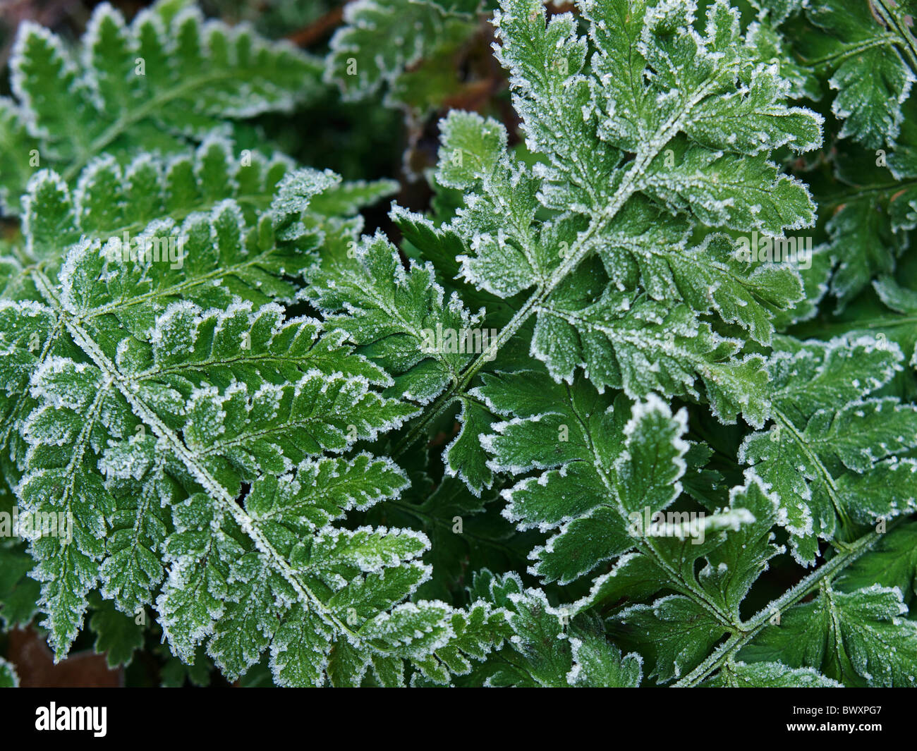 Frosty fern leaves closeup with ice crystals, Dorst, Noord Brabant, the Netherlands - Stock Image