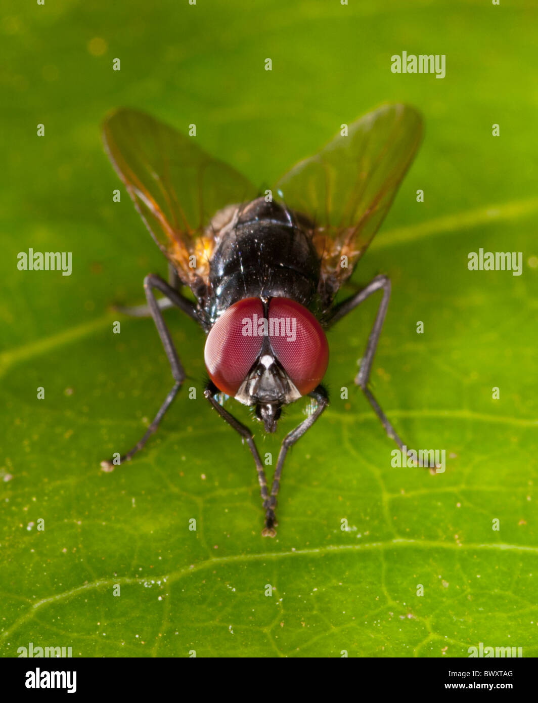 Close-up of a fly (?Tachinidae family) with golden wings and large red eyes Stock Photo