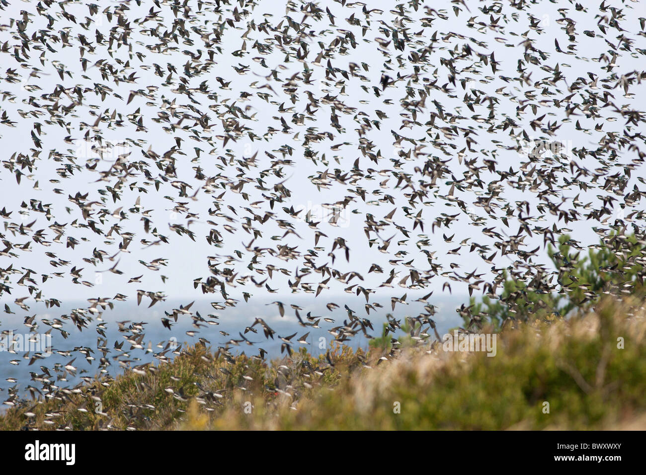 A migrating flock of Tree Swallows at Cape May New Jersey - Stock Image