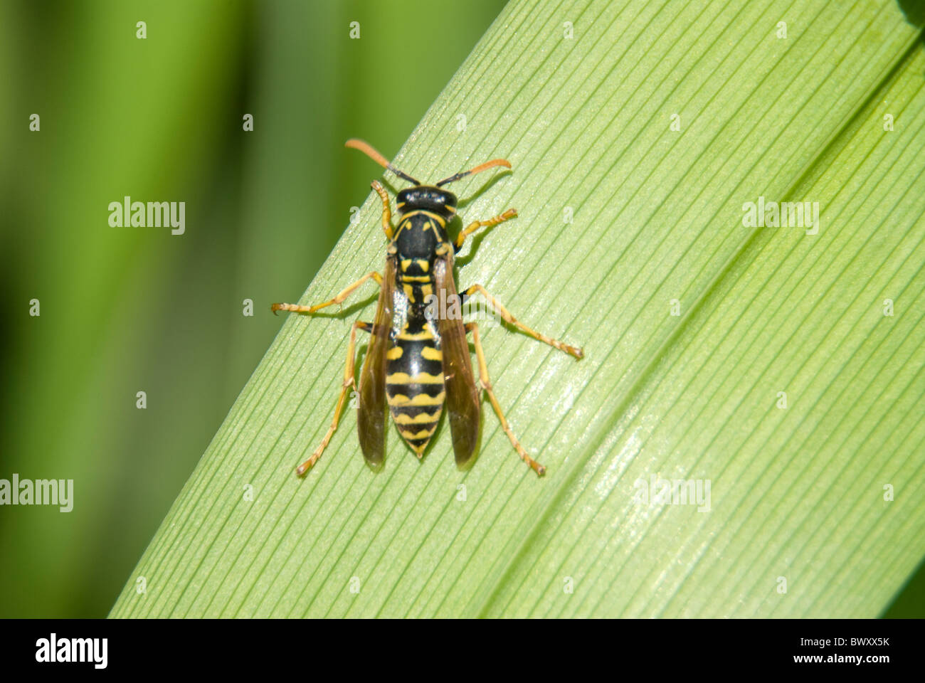 Yellow jacket wasp resting on a green leaf in the garden. - Stock Image