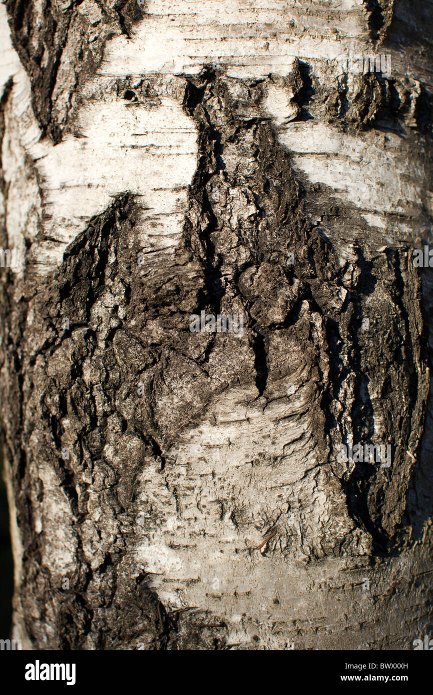 European white birch, Vårtbjörk (Betula pendula) - Stock Image