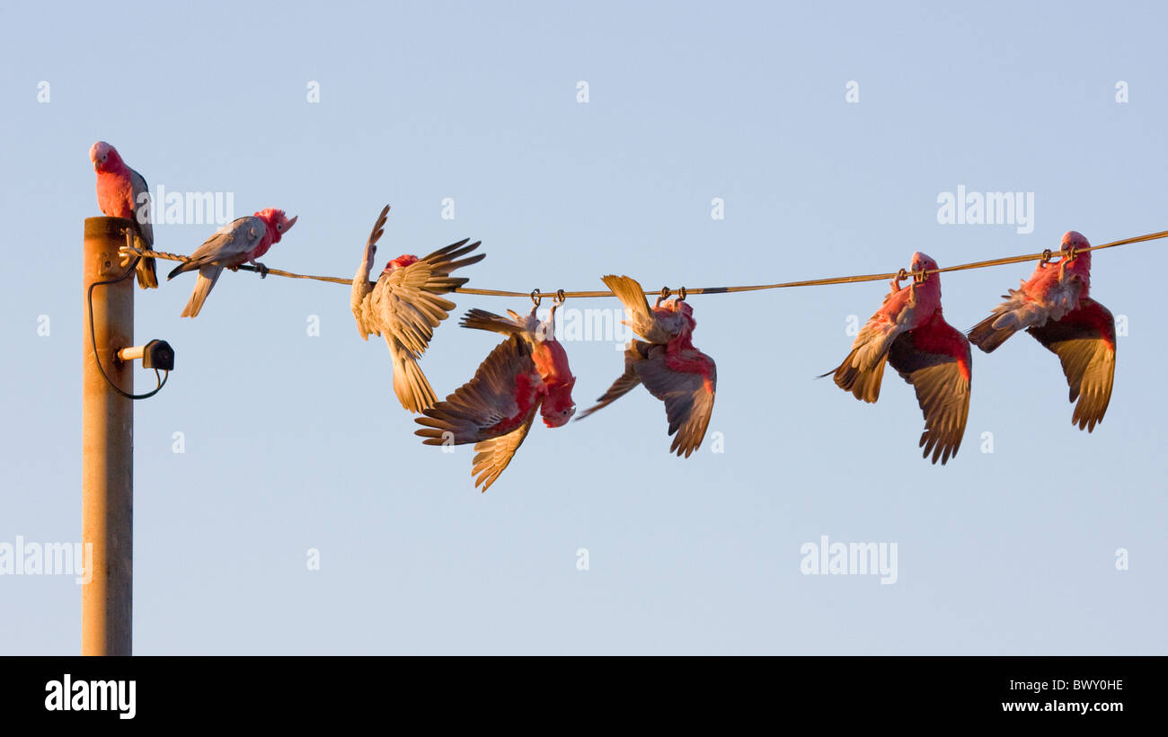 Galah flock performing acrobatic tricks on telephone wires before the evening roost in Western Australia - Stock Image
