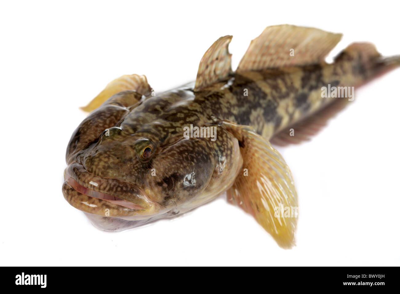 One of the largest Gobiidae reservoirs - Gobiidae-a whip lives in Black sea and his  numerous estuaries, occupies - Stock Image