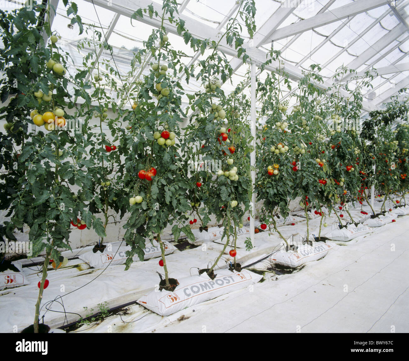 vegetables Hors sol compost bags plants tomatoes hothouse
