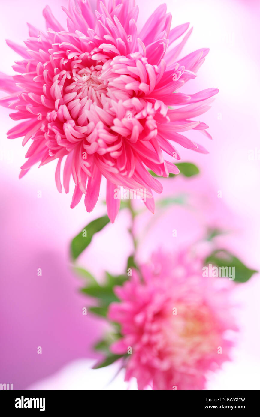 gorgeous fresh feel asters, a summer joy Jane-Ann Butler Photography JABP876 - Stock Image
