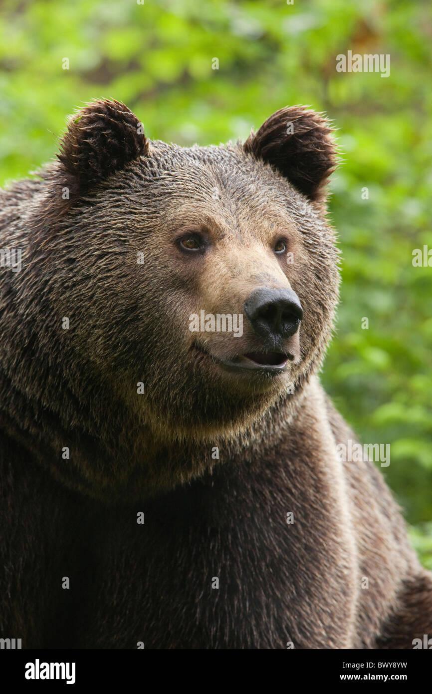 Male Brown Bear, Bavarian Forest National Park, Bavaria, Germany Stock Photo