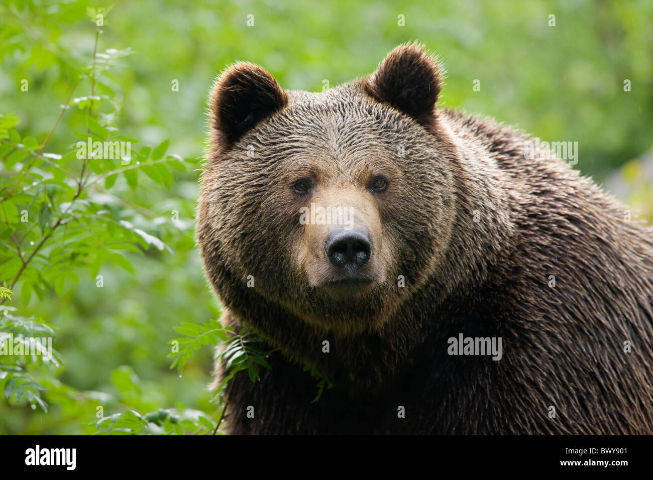 Brown Bear, Bavarian Forest National Park, Bavaria, Germany Stock Photo