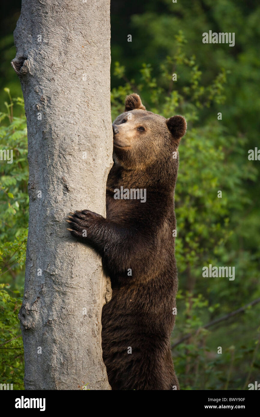 Brown Bear Standing by Tree Trunk, Bavarian Forest National Park, Bavaria, Germany Stock Photo
