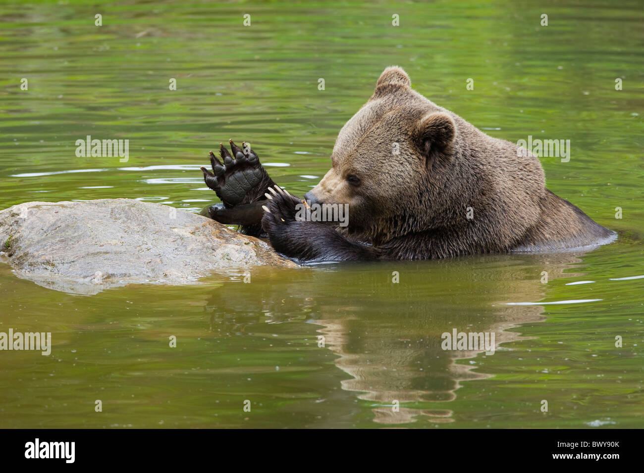 Brown Bear in Water, Bavarian Forest National Park, Bavaria, Germany Stock Photo