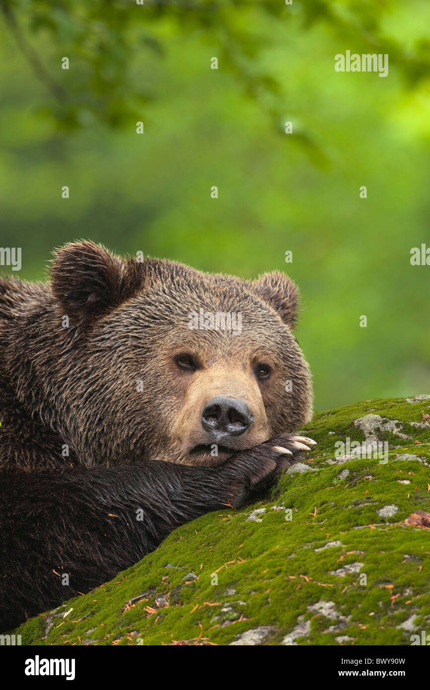 Male Brown Bear Resting on Rock, Bavarian Forest National Park, Bavaria, Germany Stock Photo