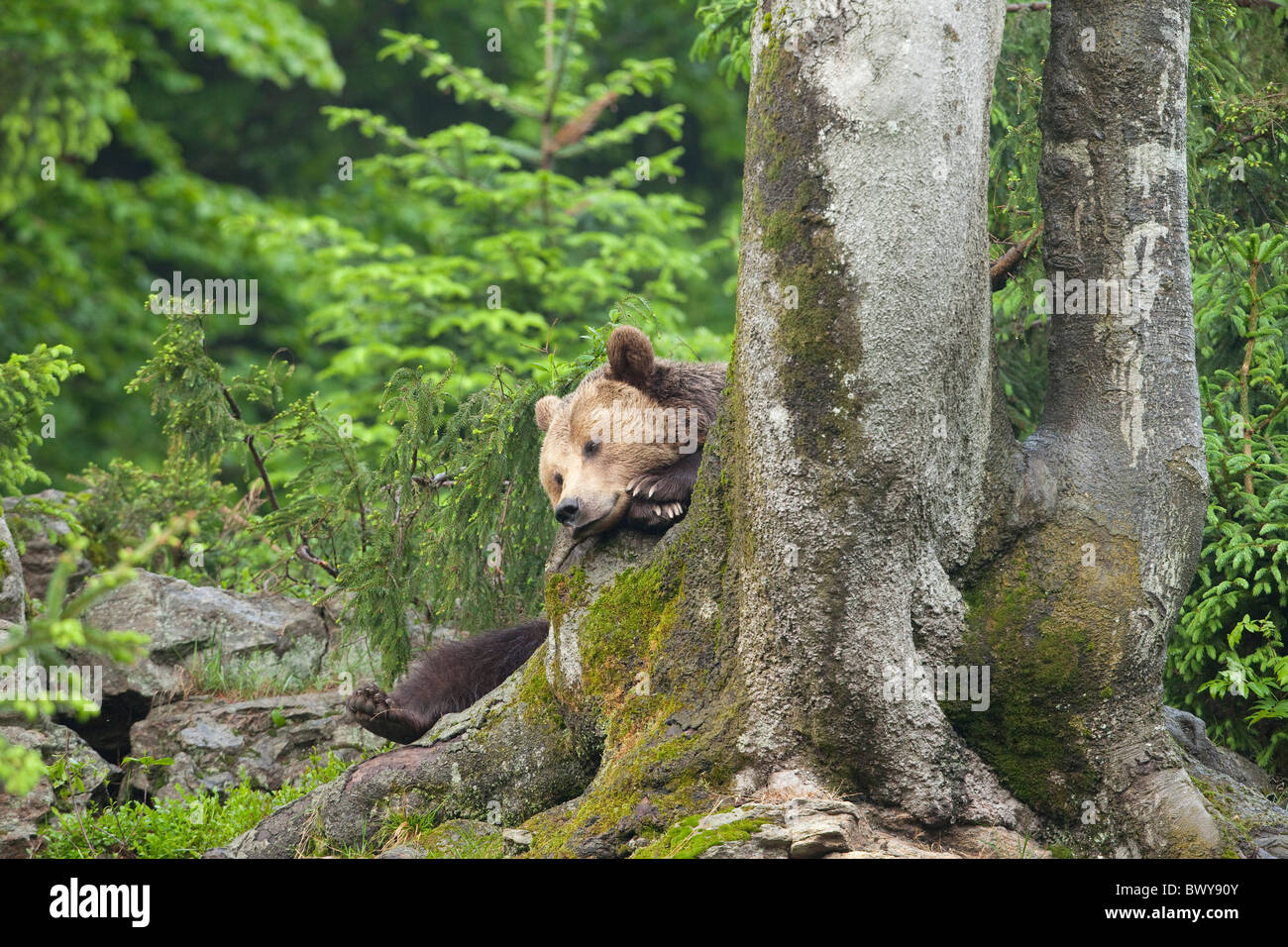 Male Brown Bear Resting on Tree Trunk, Bavarian Forest National Park. Bavaria, Germany Stock Photo