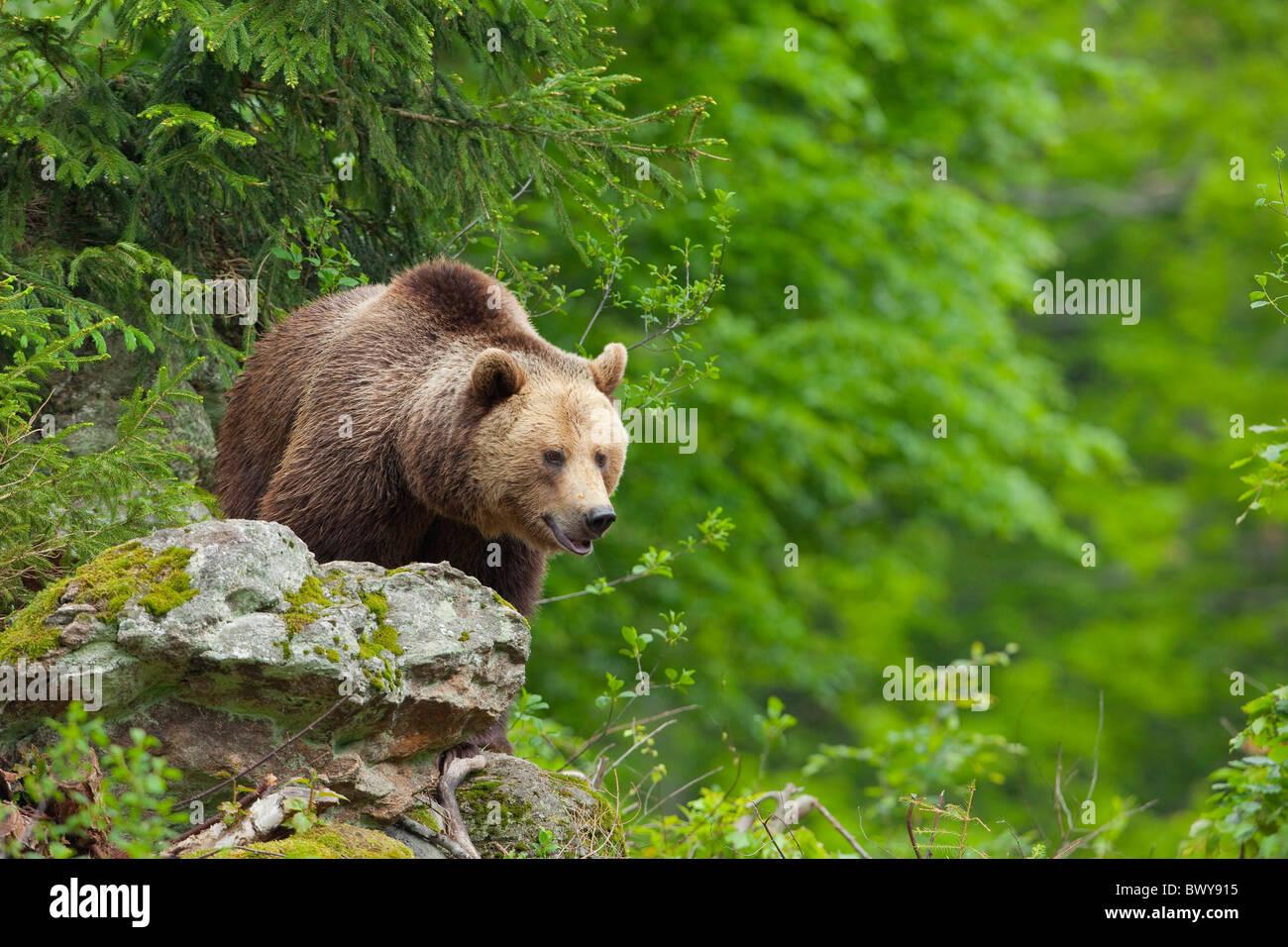 Brown Bear, Bavarian Forest National Park. Bavaria, Germany Stock Photo