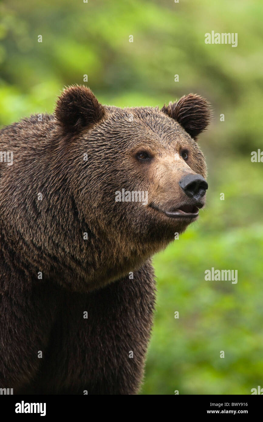 Brown Bear, Bavarian Forest National Park, Bavaria, Germany Stock Photo