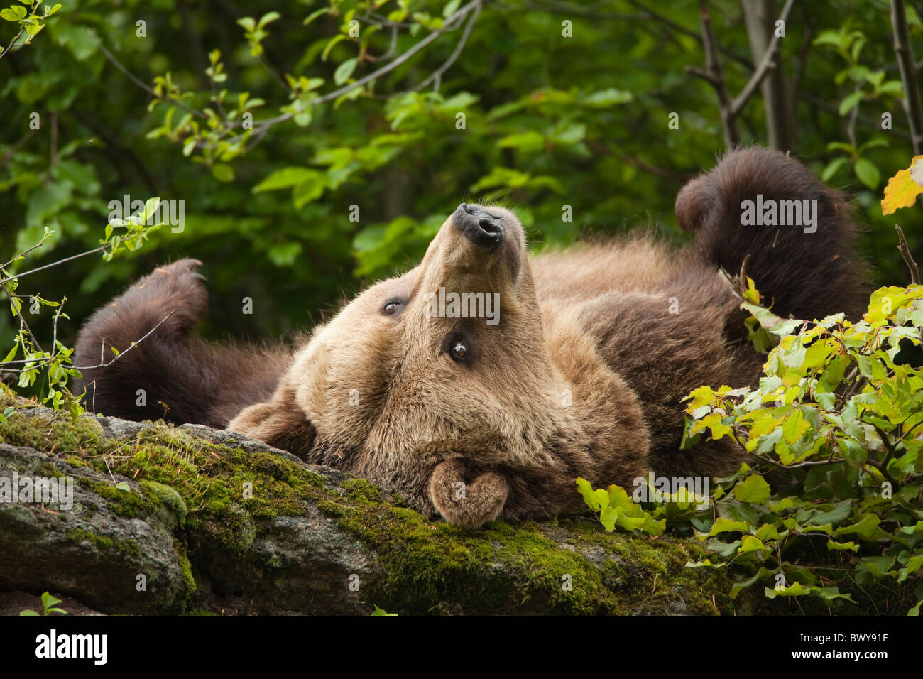 Female Brown Bear Lying on Rock, Bavarian Forest National Park, Bavaria, Germany Stock Photo