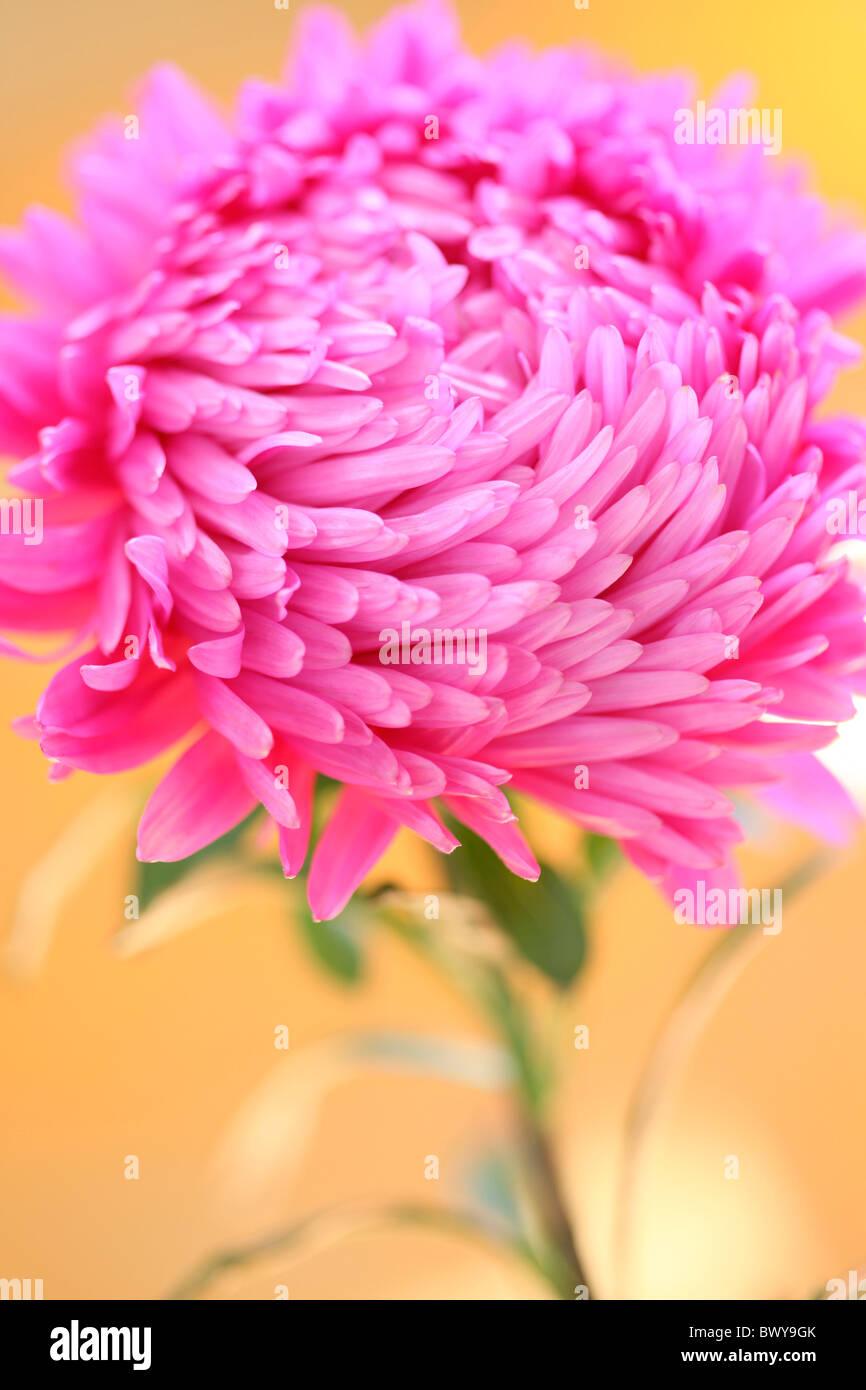 beautiful bright pink aster portrait Jane-Ann Butler Photography JABP871 - Stock Image