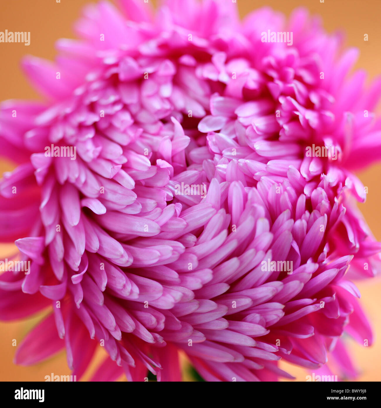 beautifully bright pink aster Jane-Ann Butler Photography JABP869 - Stock Image