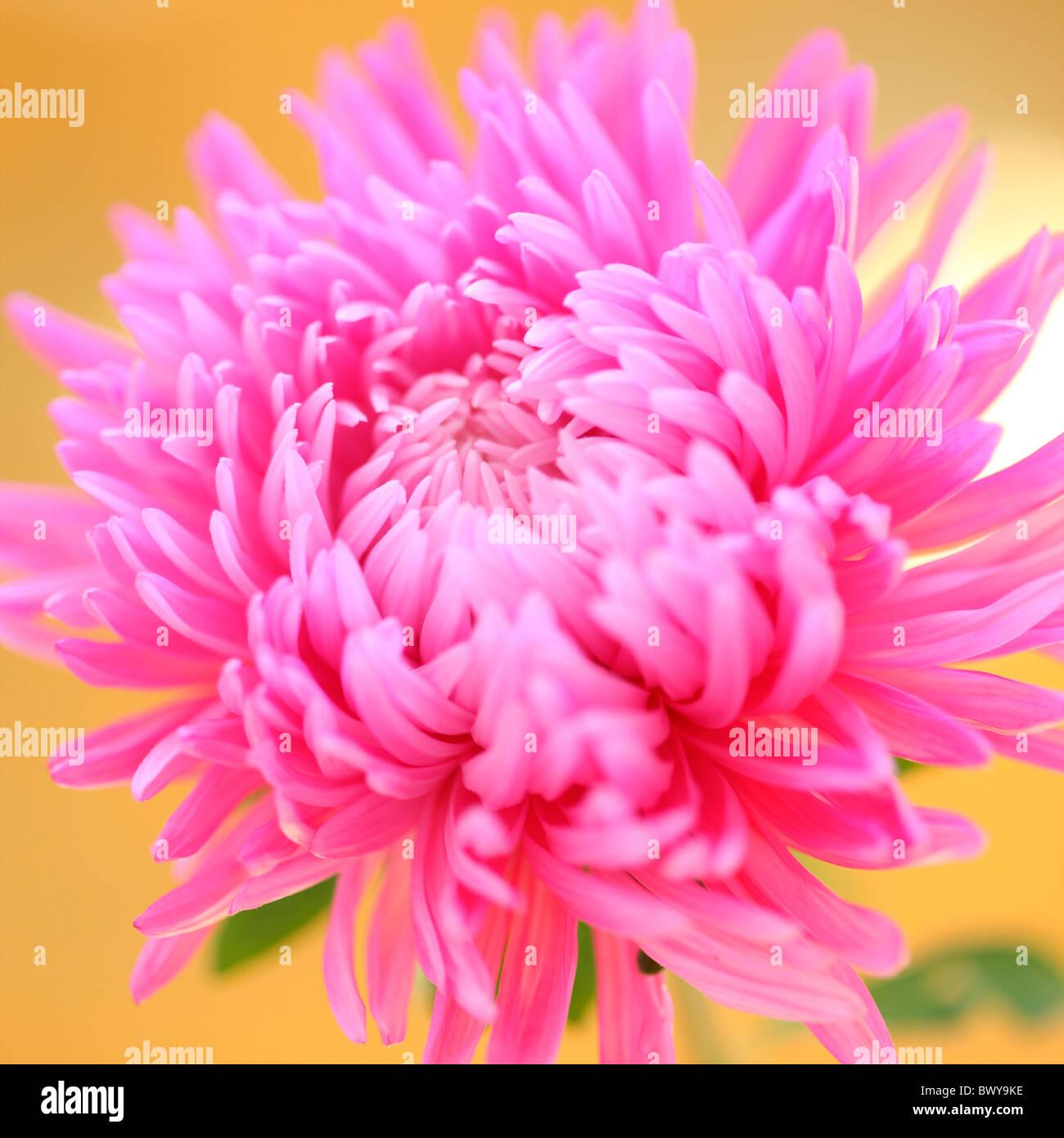striking pink aster bloom Jane-Ann Butler Photography JABP874 - Stock Image