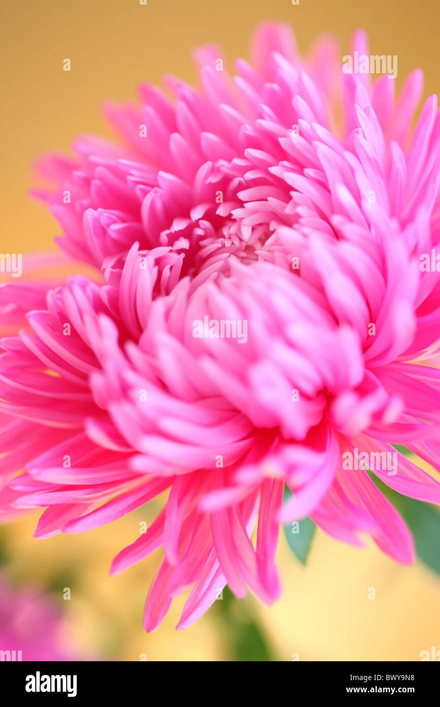 beautiful pink aster portrait Jane-Ann Butler Photography JABP875 - Stock Image