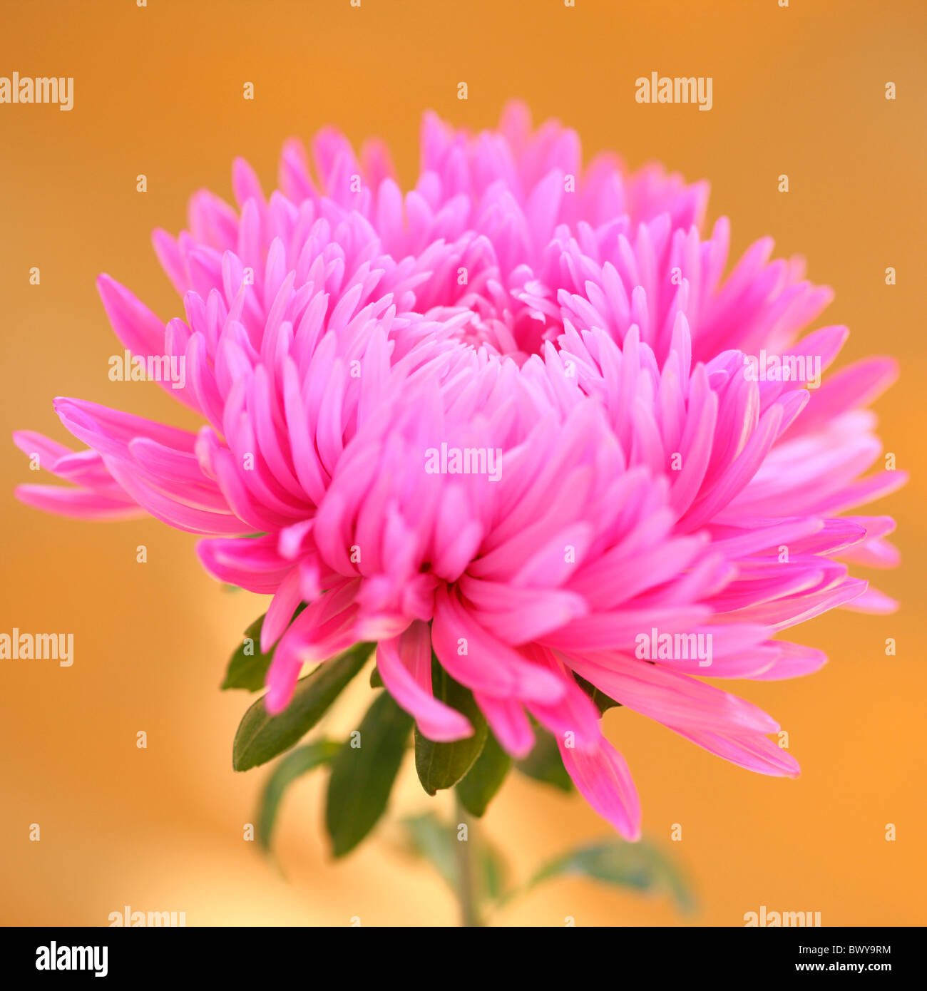 striking pink aster bloom Jane-Ann Butler Photography JABP873 - Stock Image