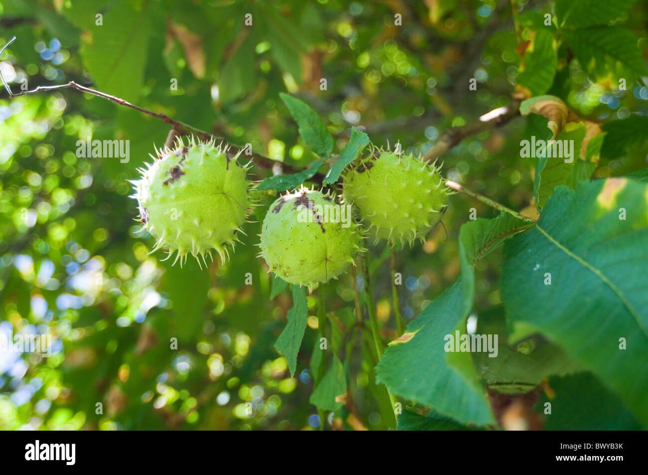 horsechestnut horsechestnuts horse chest nut nuts chestnut chestnuts tree trees conker conkers - Stock Image