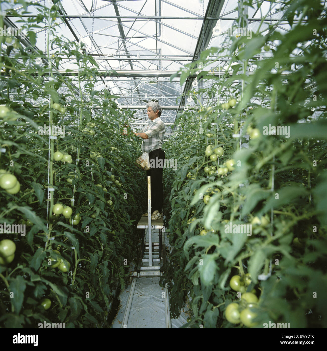 worker vegetables green Hors Sol boxes rows tomatoes hothouse