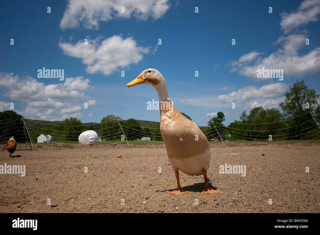 Duck in outdoor pen in barnyard on poultry farm Stock Photo