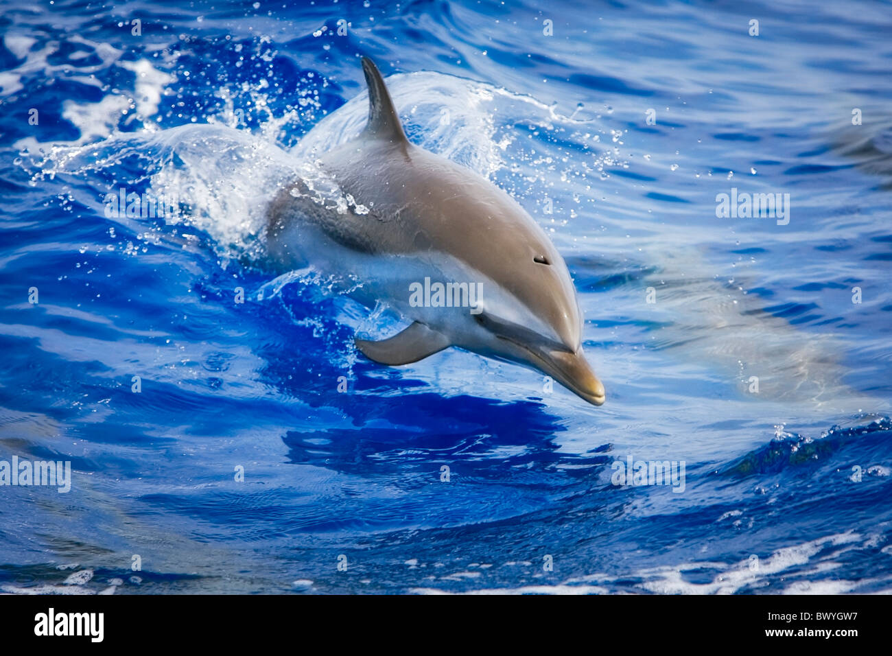 pantropical spotted dolphin, Stenella attenuata, baby jumping, Kona Coast, Big Island, Hawaii, USA, Pacific Ocean - Stock Image