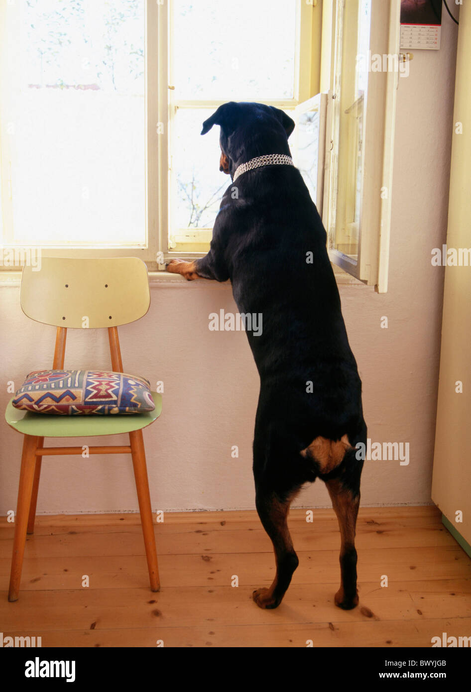 Window look out dog bitch rottweiler back view situation position
