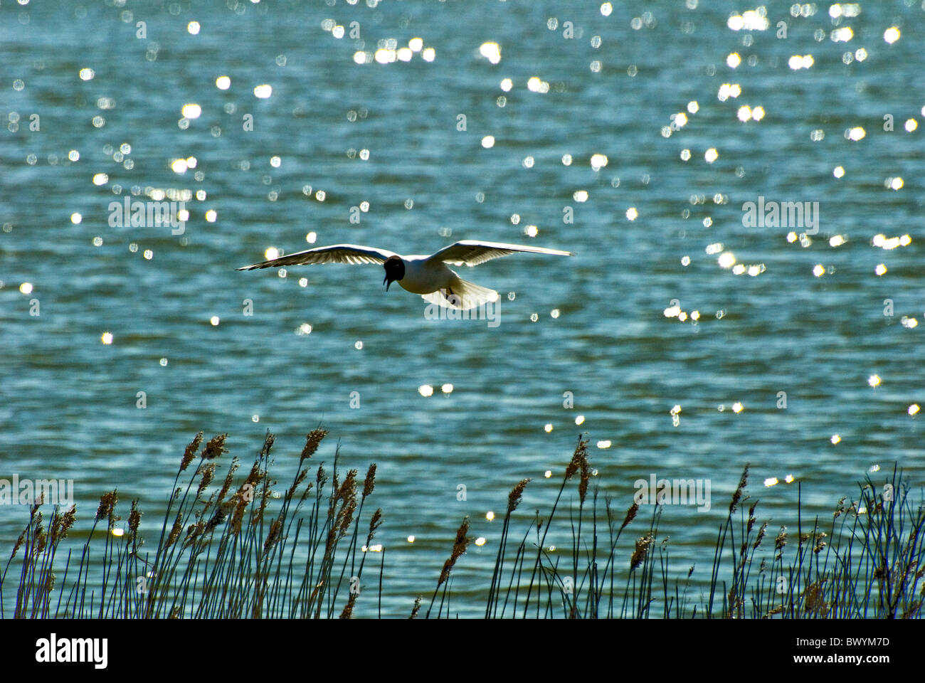 Black headed gull mid flight over glistening water and reeds or grasses - Stock Image