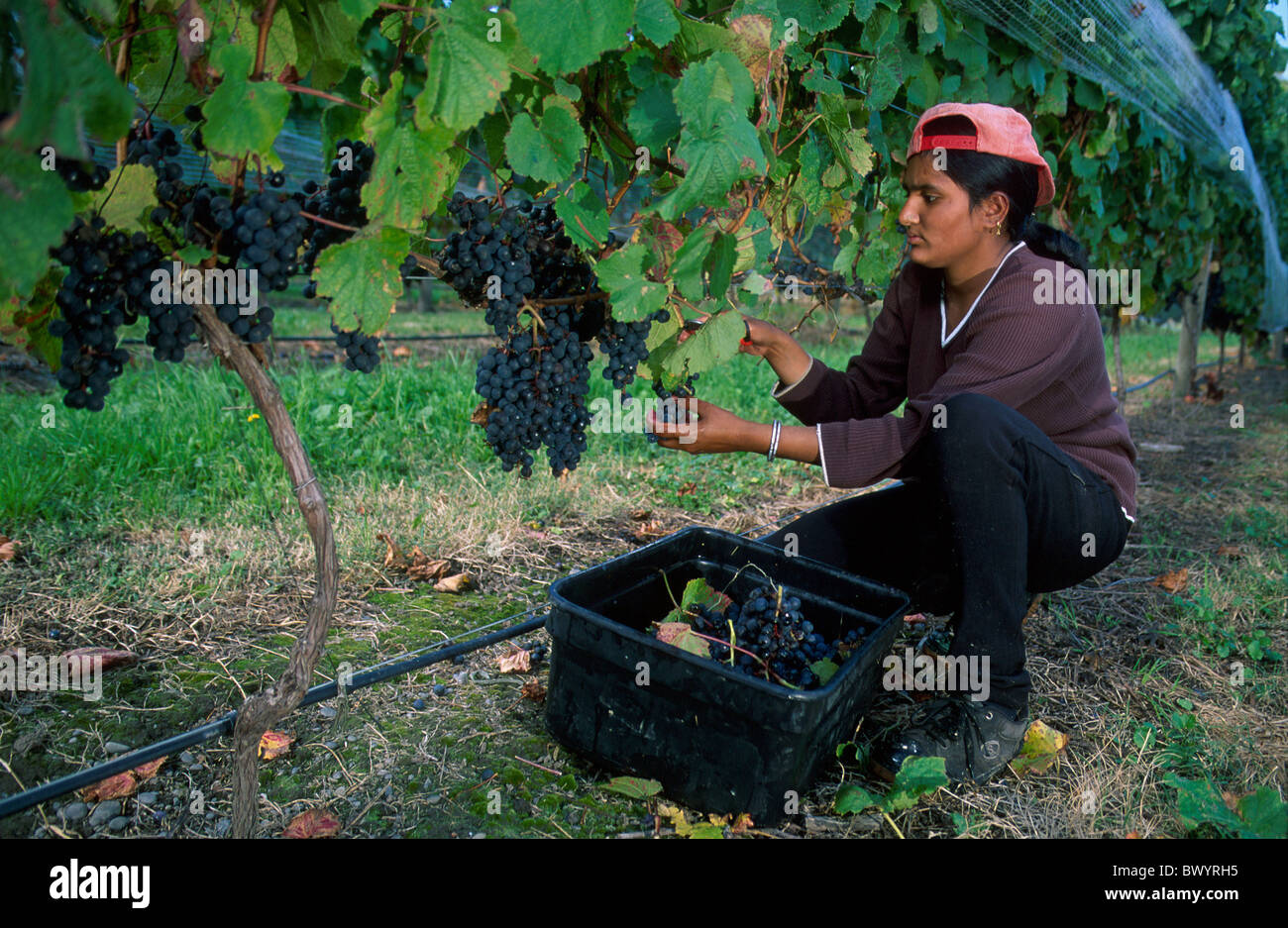 agriculture crop gentle Estate Winery grapes harvest Napier New Zealand north island shoots vineyard vinta - Stock Image