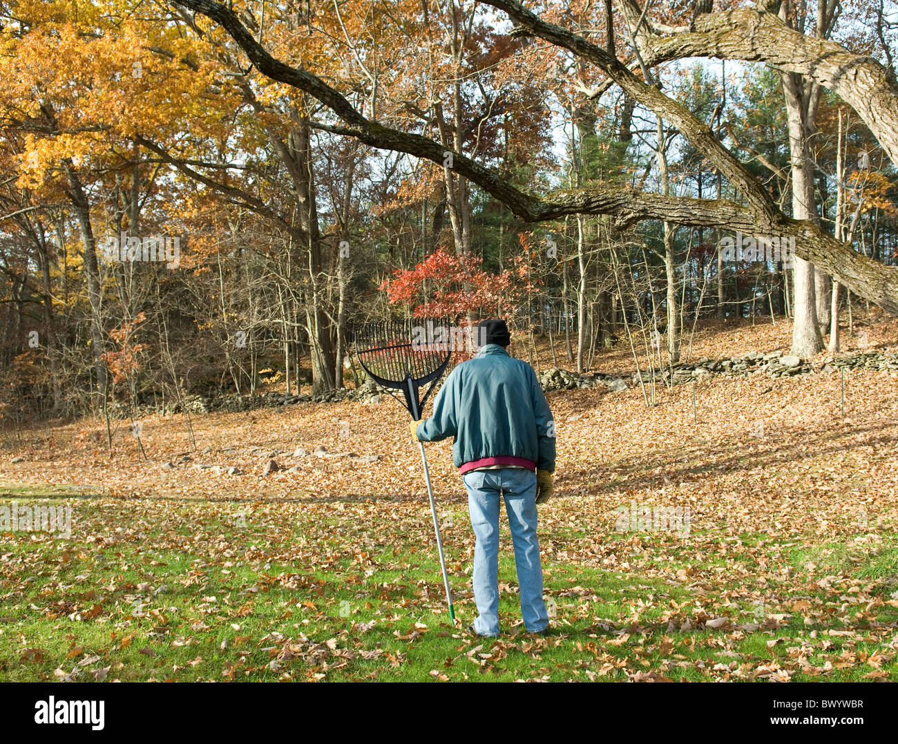 man facing task of raking leaves in large yard - Stock Image