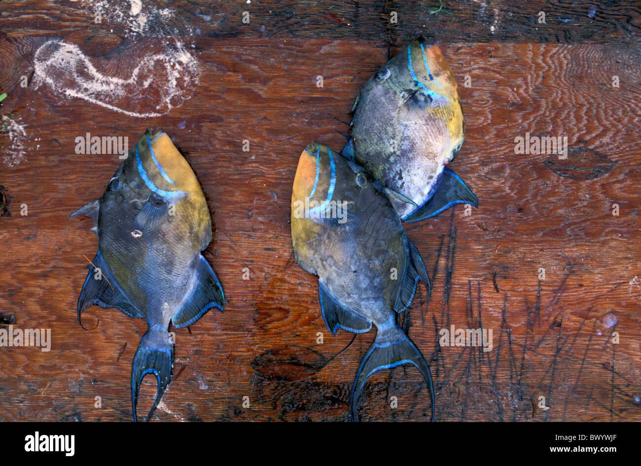 animal animals Cat Island Bahamas dead Fish market - Stock Image
