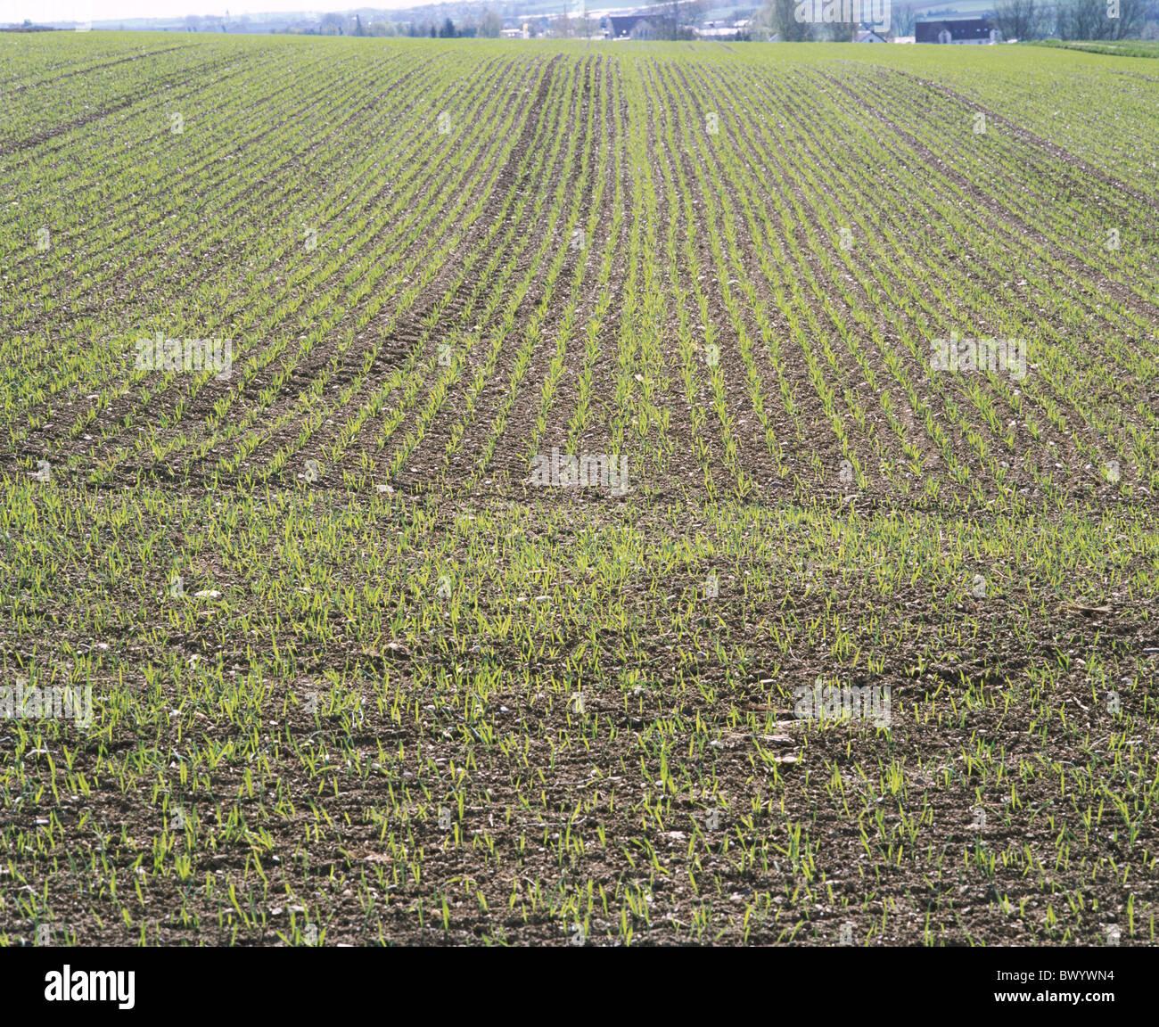 field cultivation field Keimlinge agriculture useful plants seedlings desires impulses grow Stock Photo