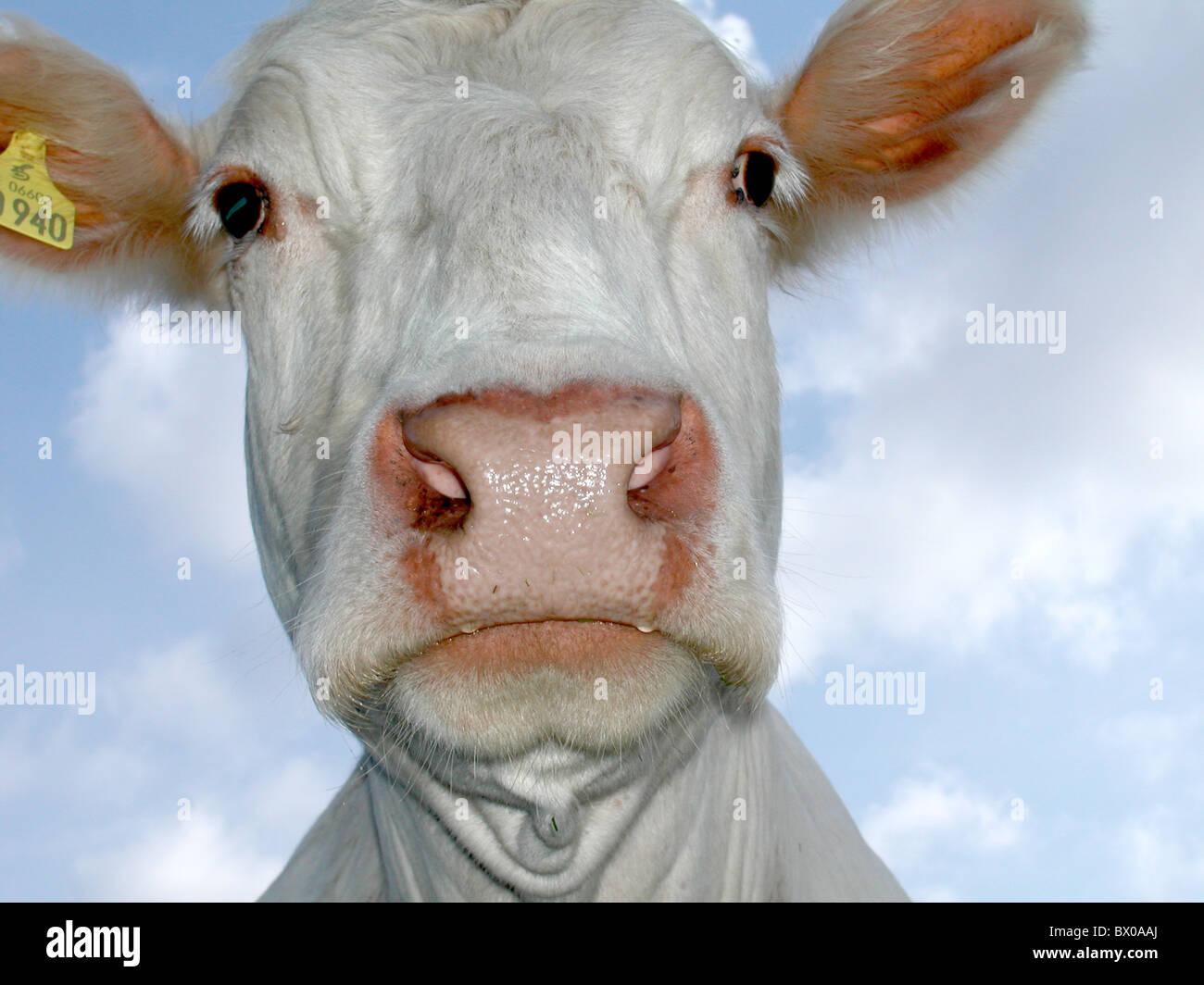 emotion joy happily cheerfully feeling emotion good weather good weather sky head cow amusing nose natu - Stock Image