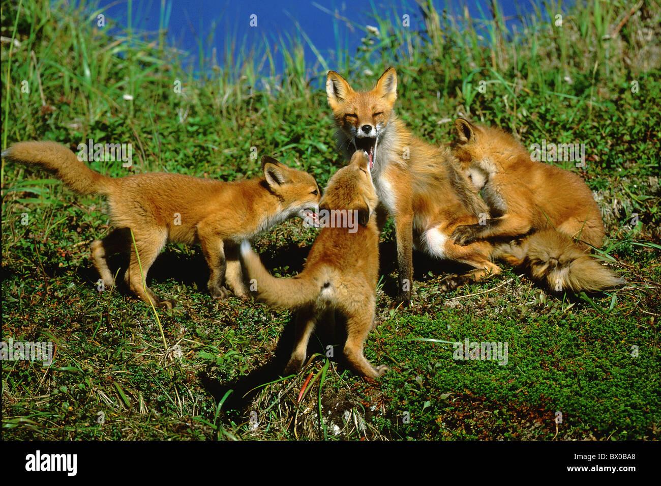 Alaska sniff unites family fox yawn play Horizontal young young animal beast amusing several mother po - Stock Image