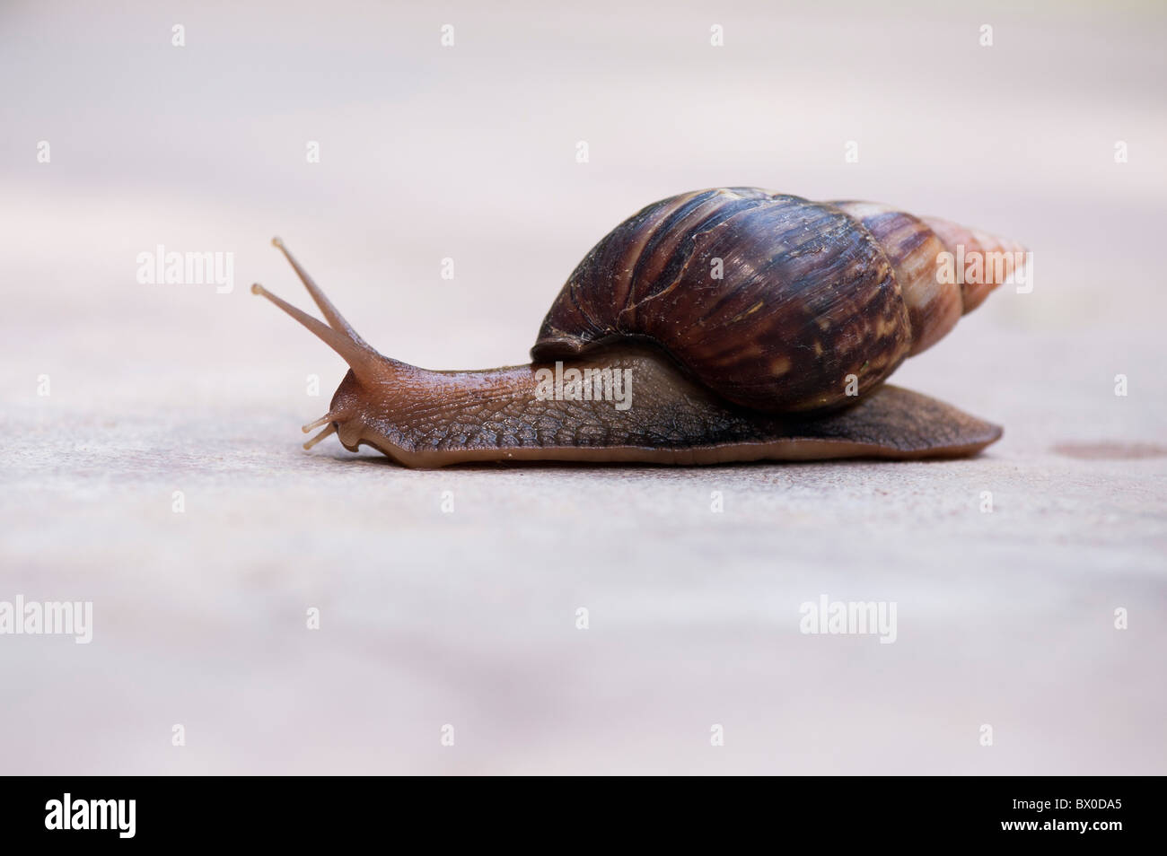 Achatina fulica, East African land snail, or Giant African land snail in India - Stock Image