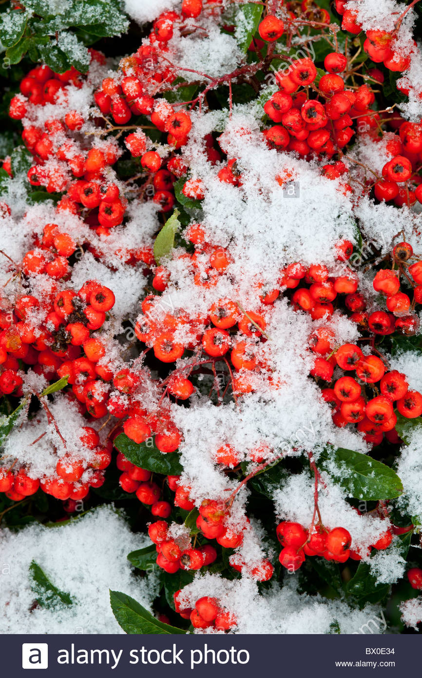 scarlet firethorn Pyracantha Mohave autumn fall red berry wall shrub evergreen November snow cover covered garden - Stock Image