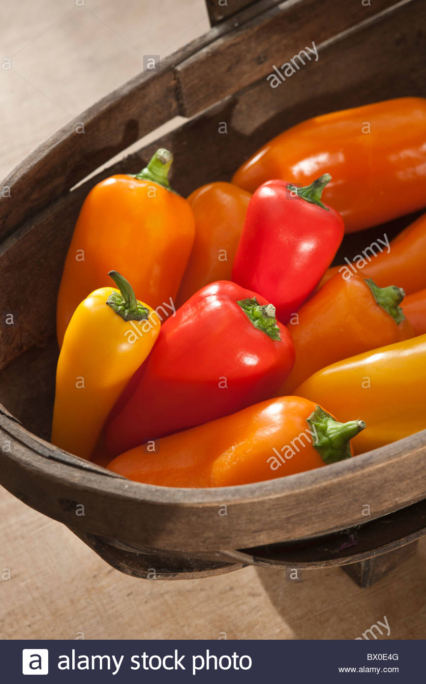 Capsicum annuum mini mixed colours colors red yellow orange Chilli pepper trug autumn fall vegetable spice September - Stock Image