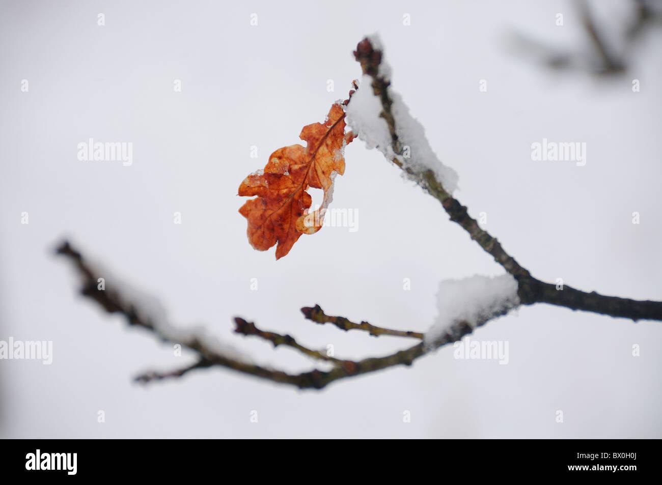 Autumn oak leaf in snow - Stock Image