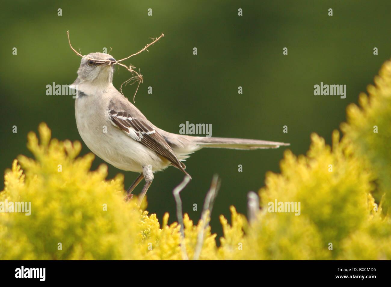 A Northern Mockingbird bringing nesting materials to nest. Stock Photo