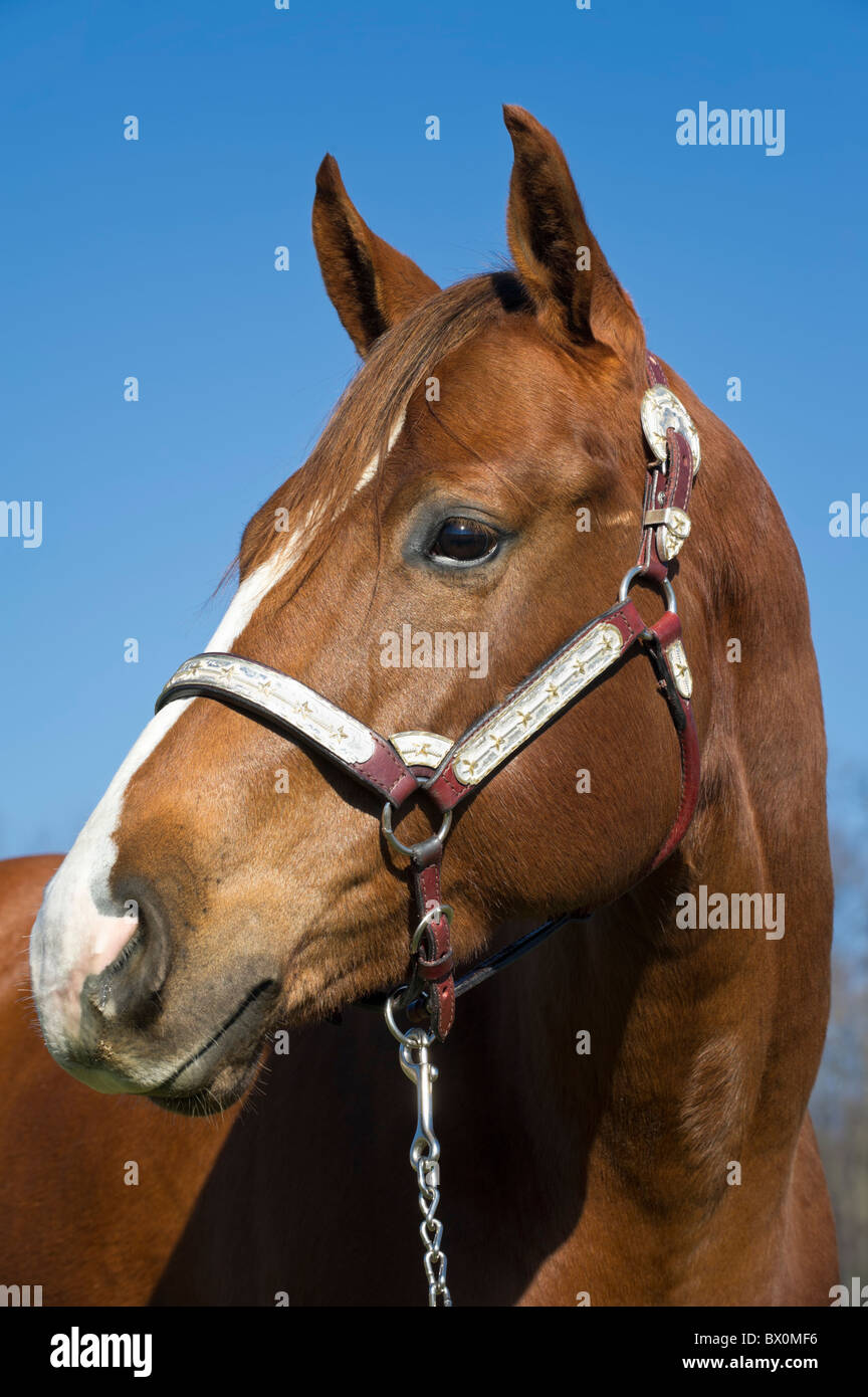 Horse Head High Resolution Stock Photography And Images Alamy