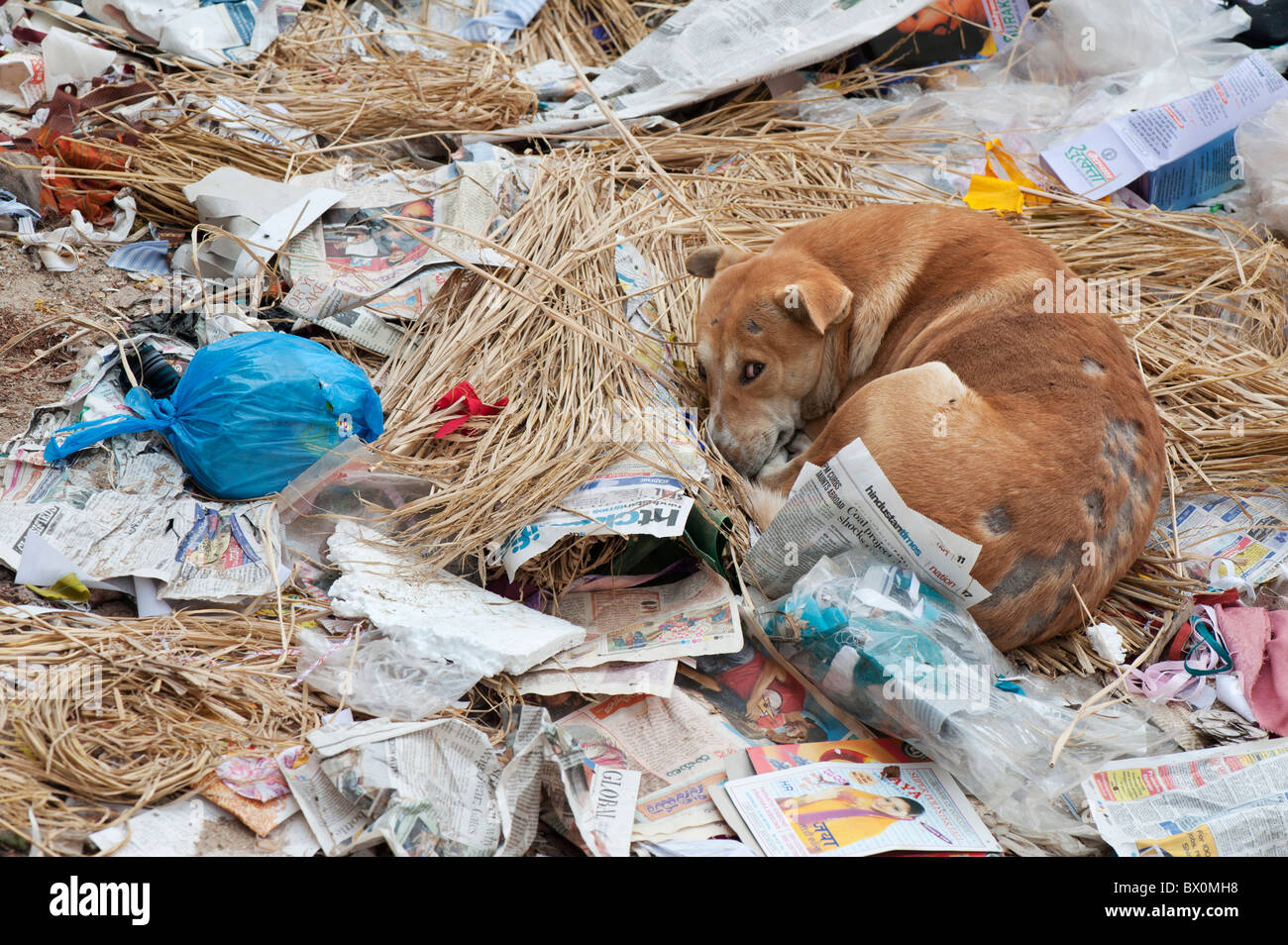 Indian stray dog with mange sleeping in a rubbish tip in the street. Andhra Pradesh, India - Stock Image