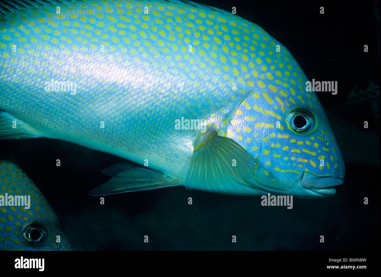 New Caledonia, Noumea Lagoon - Silver Sweetlips Fish Portrait Diagramma Pictum - Stock Image
