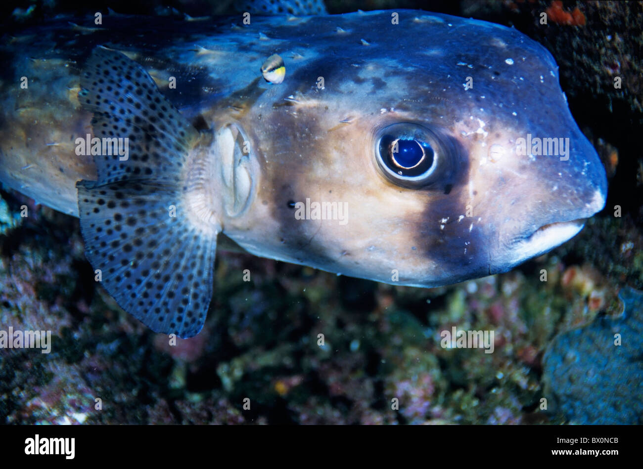 Freckled Porcupinefish (Diodon holocanthus), Le Sournois Reef, Noumea Lagoon, New Caledonia. - Stock Image