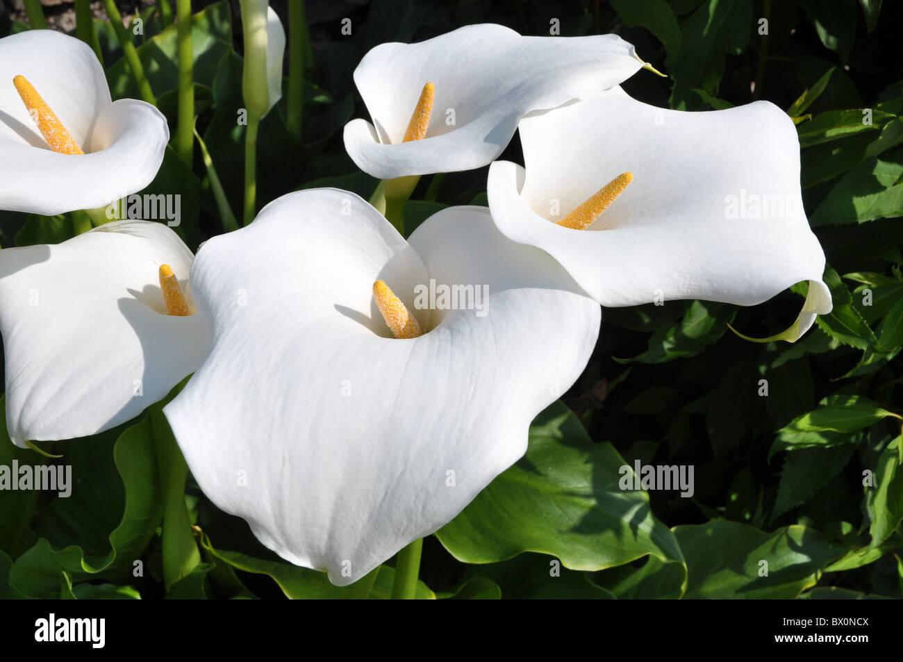Group of Arum lilly flowers with yellow spadix Stock Photo