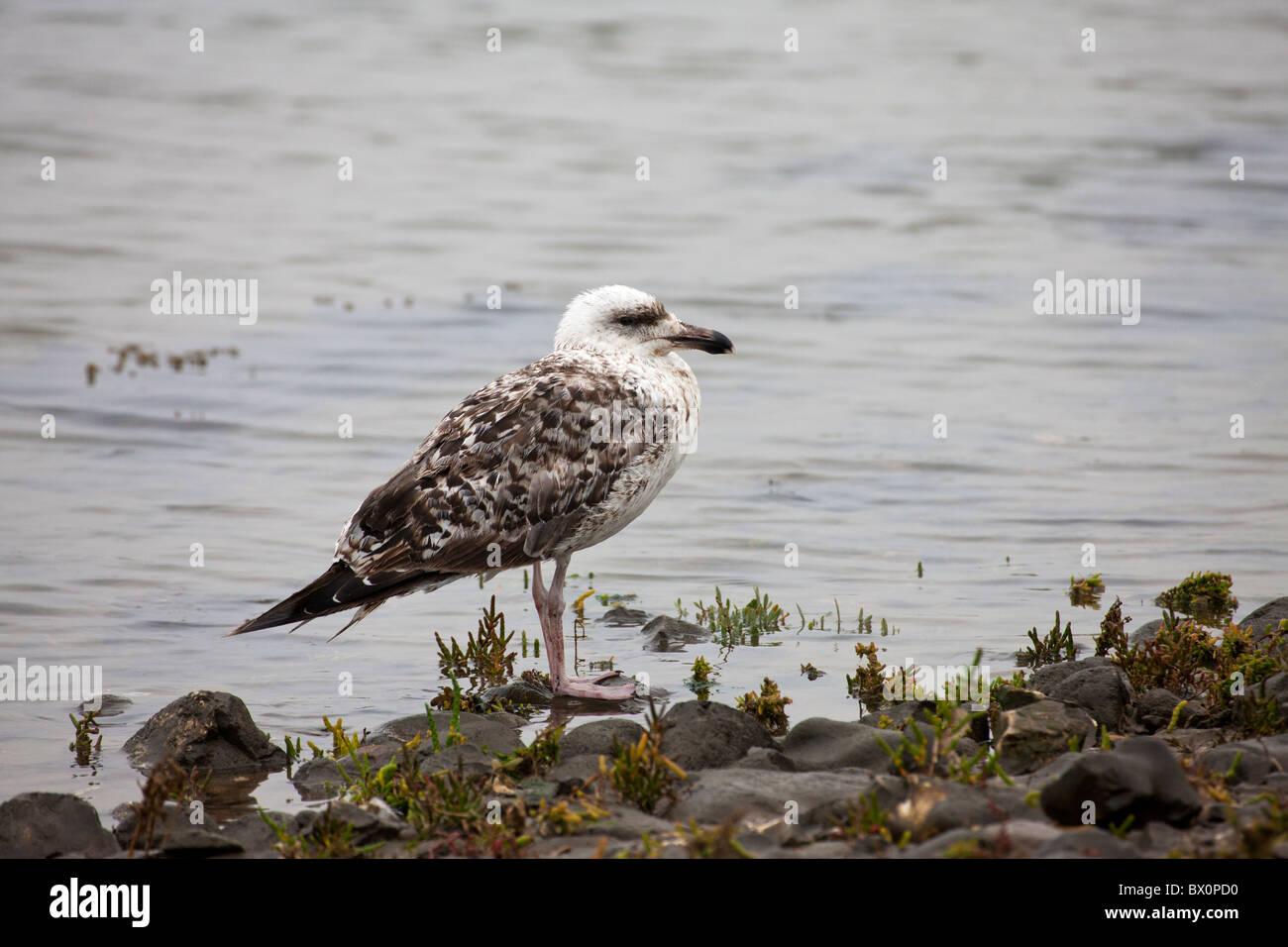 Great Black=backed Gull Larus marinus 1st winter immature standing at water's edge - Stock Image