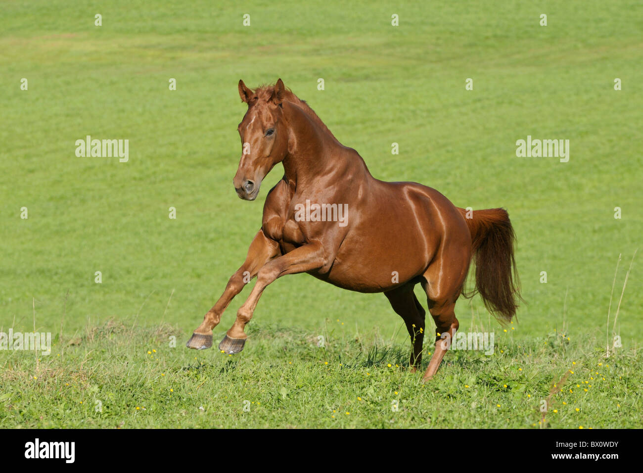 Hanoverian breed horse galloping in the field Stock Photo
