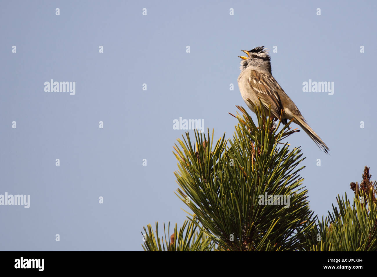 White-crowned Sparrow singing loudly. - Stock Image