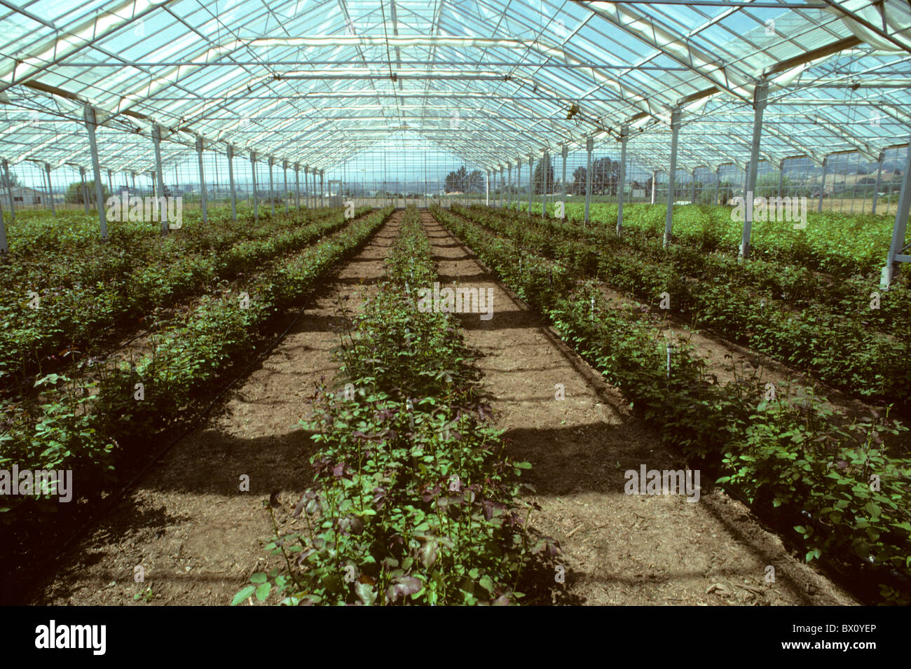 Greenhouse filled with rose plants - Stock Image