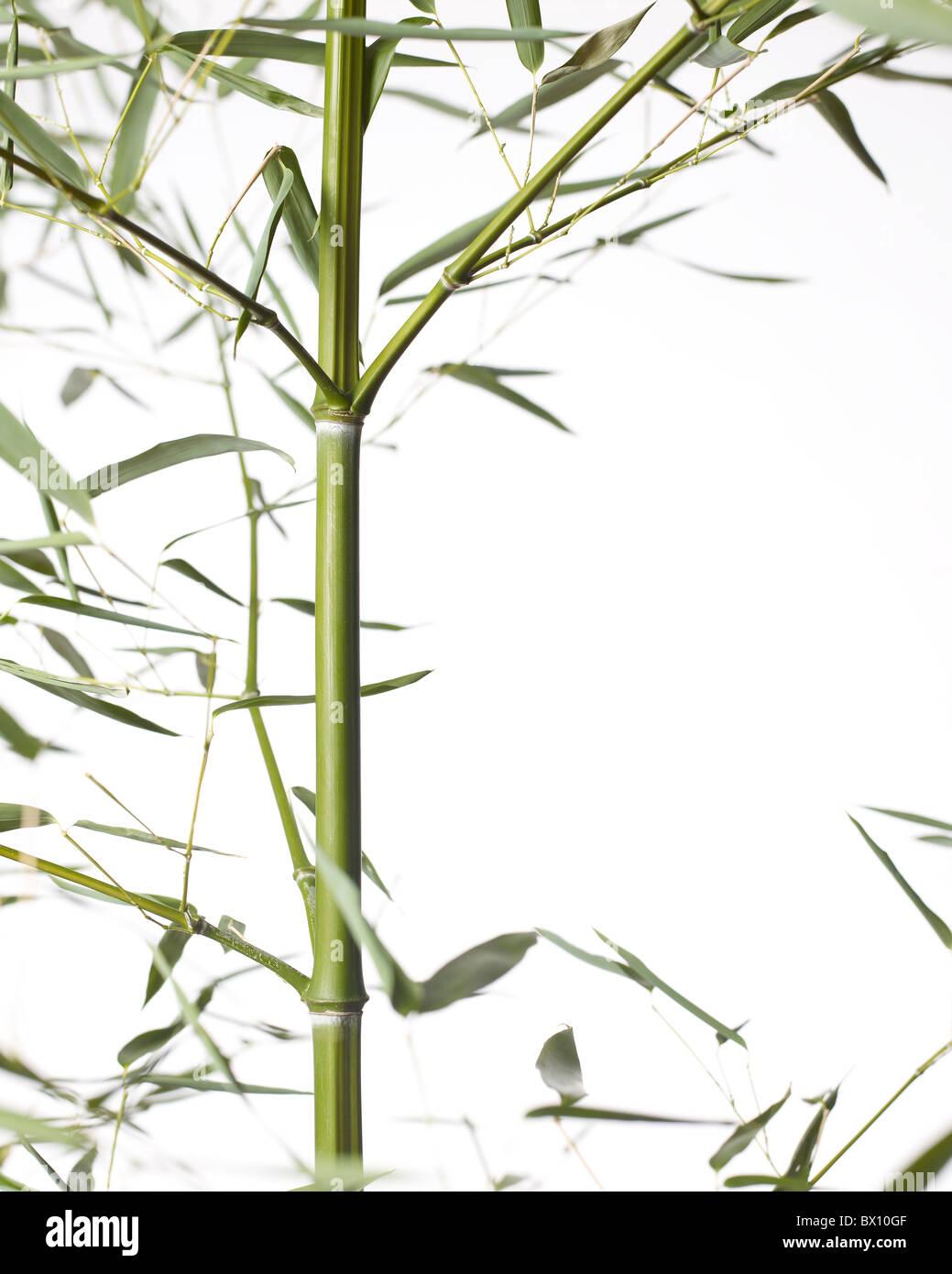 Bamboo stalk vertical - Stock Image